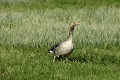 Greylag goose on grass Royalty Free Stock Images