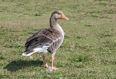Greylag Goose. Stock Photography