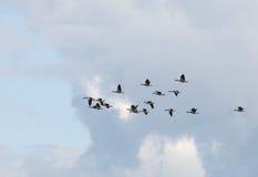 Greylag Goose, Greylag, Anser anser Stock Photo