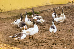 Greylag goose group. Greylag goose (Anser anser) group Royalty Free Stock Photos
