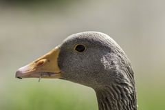 Greylag goose head. Close up of face in profile. Stock Photos