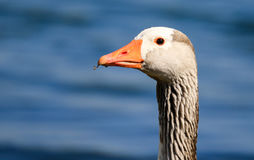 Greylag Goose head Stock Images