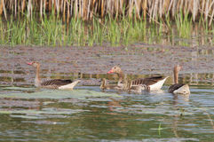 Greylag goose with juveniles Royalty Free Stock Images