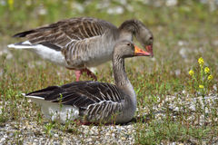 Greylag goose Stock Images