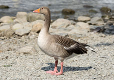 Greylag Goose by a Lake Royalty Free Stock Photography