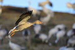 Greylag goose Royalty Free Stock Image