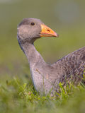 Greylag goose lying in grass with apologizing face. Greylag goose (Anser anser) bird lying in grass with apologizing face. This species has a Palearctic Royalty Free Stock Image