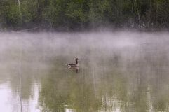 Greylag goose on misty pond Royalty Free Stock Photo