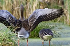 Greylag goose in the morning Royalty Free Stock Photo