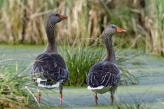 Greylag goose in the morning Royalty Free Stock Photos