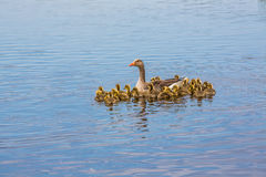 Greylag goose mother with her large family of chicks Royalty Free Stock Image