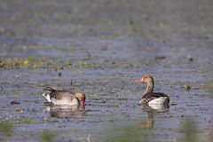 Greylag goose in Nepal Royalty Free Stock Image