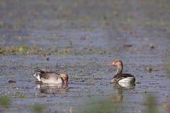 Greylag goose in Nepal Royalty Free Stock Image