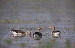 Greylag goose in Nepal Stock Photo