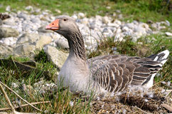 Greylag goose on nest Stock Photography