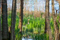Greylag goose nesting Royalty Free Stock Photo