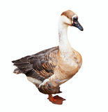 Greylag Goose over white Royalty Free Stock Photo