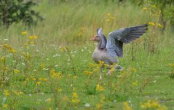 Greylag goose Pegasus Royalty Free Stock Photo