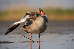 Greylag Goose. The picture was taken in Hungary Stock Photography