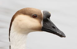 Greylag goose portrait Royalty Free Stock Images