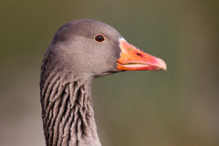 Greylag Goose portrait Stock Photo