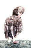 Greylag goose portrait (Anser anser), animal scene, white backgr Stock Photo