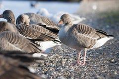 Greylag goose Stock Photography