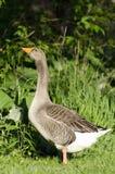 Greylag Goose Profile. Greylag Goose watching over her babies Stock Photography