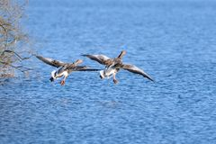 Greylag goose ready for landing Stock Images
