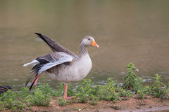 Greylag Goose resting with wing stretched out Royalty Free Stock Images