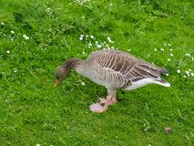 Greylag goose searching for insects. Photography of a greylag goose searching for insects in the grass. The photography has been taken in natural daylight royalty free stock photos