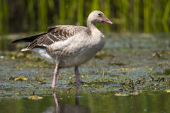 Greylag Goose in Shallow Water Stock Image