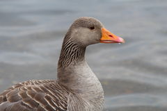 Greylag Goose. A side view of a Greylag goose with an orange pink bill and feathers of various shades of grey Stock Photos