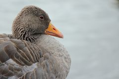 Greylag Goose sitting at a lake. Closeup shot of a Greylag Goose sitting next to Reykjavik city lake, Iceland Royalty Free Stock Image