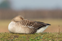 Greylag goose sitting in the meadow on a hill. Stock Image