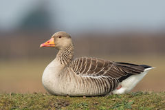 Greylag goose sitting in the meadow on a hill. Royalty Free Stock Image