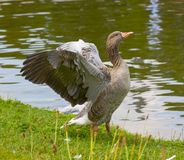 Greylag goose spreading wings Stock Photography