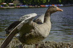 Greylag goose spreading wings Royalty Free Stock Image