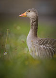 Greylag goose in spring Stock Photos