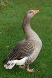 Greylag goose Royalty Free Stock Photo