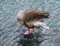 A greylag goose on a stone in a harbor Stock Images
