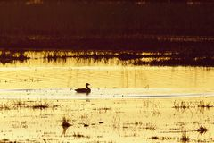 Greylag Goose in  sunset Stock Images
