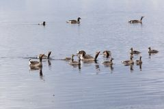 Greylag Goose swimming Royalty Free Stock Images