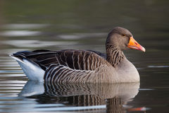 Greylag Goose swimming Stock Photo