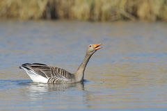 Greylag goose swimming Royalty Free Stock Photography