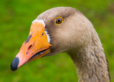 Greylag Goose Royalty Free Stock Photo