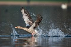 A Greylag goose taking off royalty free stock image