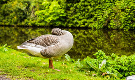 Greylag Goose UK. The Greylag Goose has a grey-brown plumage with pale fringes on the feathers. Underparts are light-grey with a white belly. Head and neck are Stock Photos