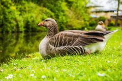 Greylag Goose UK. The Greylag Goose has a grey-brown plumage with pale fringes on the feathers. Underparts are light-grey with a white belly. Head and neck are Royalty Free Stock Photo