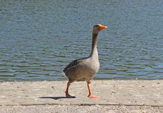 Greylag Goose. Stock Photos
